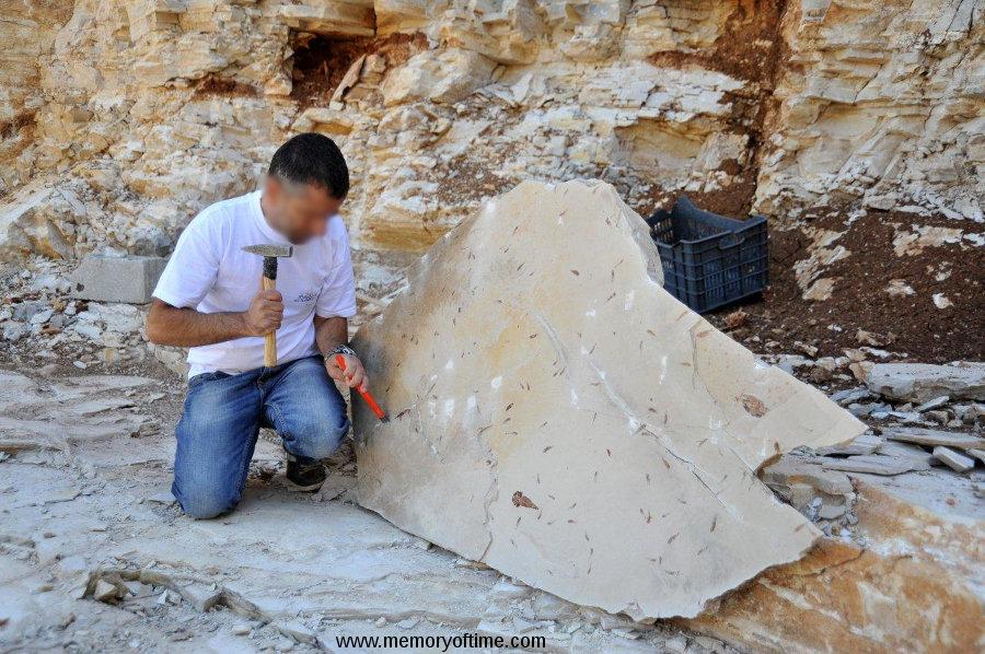 Fin de dégagement d'une plaque calcaire montrant des dizaines de fossiles de petits poissons, Haqil (Liban)