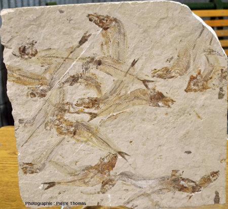 Dalle avec de nombreux poissons, Gaudryella sp., Hadjoula (Liban)