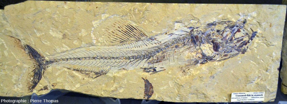 Grand fossile de poisson qui contient un autre poisson dans son estomac, Liban