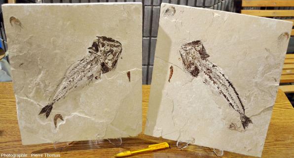 Empreinte et contre-empreinte d'un poisson fossile (Liban)