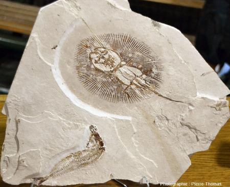 Dalle montrant un fossile de raie (Cyclobatis sp.) en haut, et un fossile de Scombroclupea sp. en bas, Haqil (Liban)