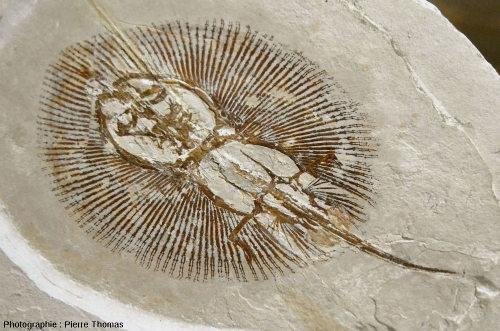 Détail du fossile de raie (Cyclobatis sp.), Haqil (Liban)