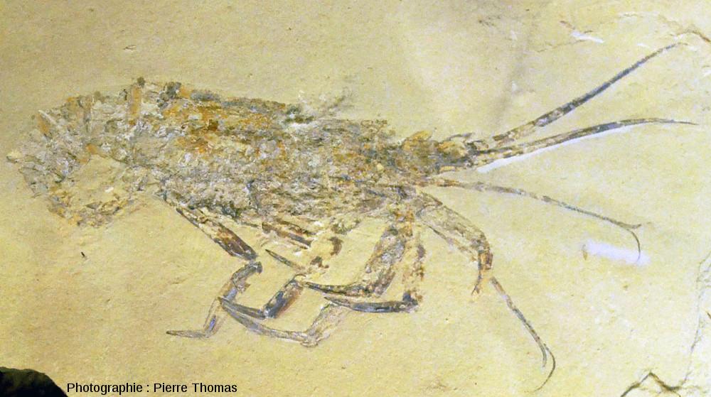 Langouste fossile (Palinurus sp.), Cénomanien (Crétacé supérieur, 100Ma), Haqil (Liban)