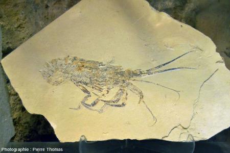 Plaque à langouste fossile (Palinurus sp.), Cénomanien (Crétacé supérieur, 100Ma), Haqil (Liban)