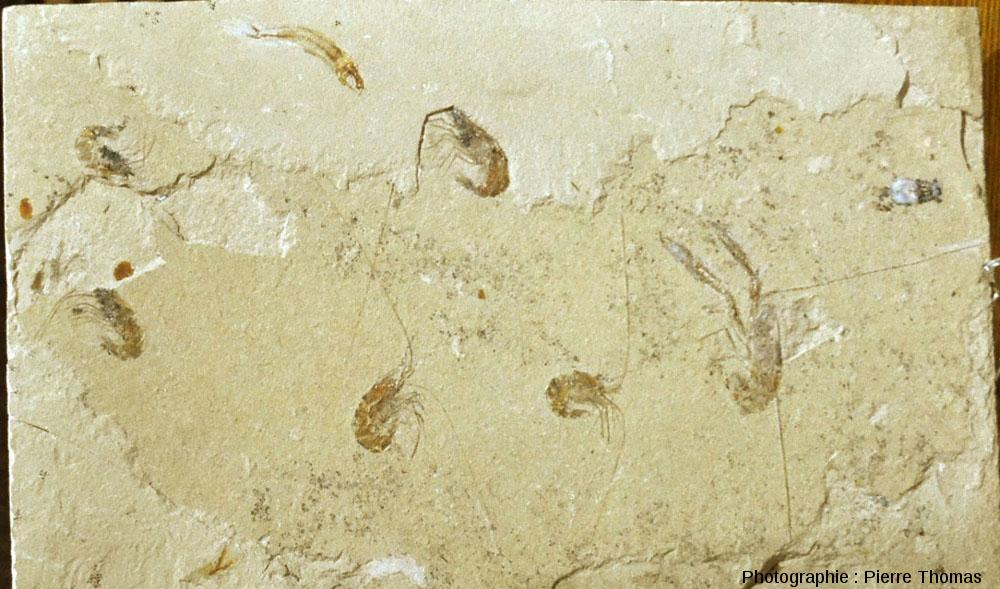 Vue d'ensemble de cette dalle à crevettes et homard de Hgula (Liban)