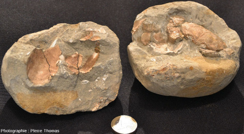 Les deux moitiés d'un nodule calcaire contenant un crabe fossile