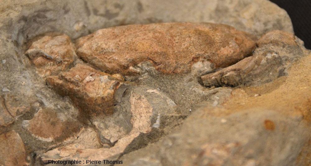 Zoom sur le moulage 3D de crabe fossilisé