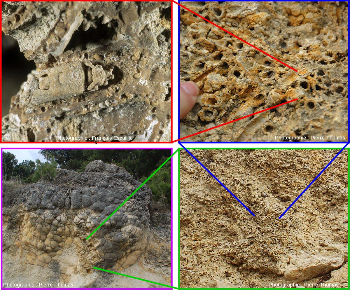 Poupées gigognes de fossiles: une larve de phrygane (insecte de la famille des trichoptères) a constitué son fourreau (également appelé indusie) avec des coquilles d'hydrobies (gastéropode)