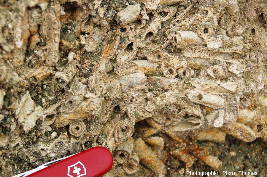 Zoom sur les fourreaux de larves de phryganes à l'intérieur d'une boule stromatolithique, Gondailly (Allier)