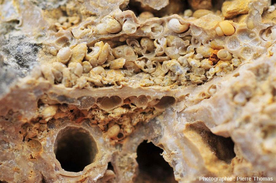 Sections de fourreaux de larves de phryganes à l'intérieur d'une boule stromatolithique, Gondailly (Allier)