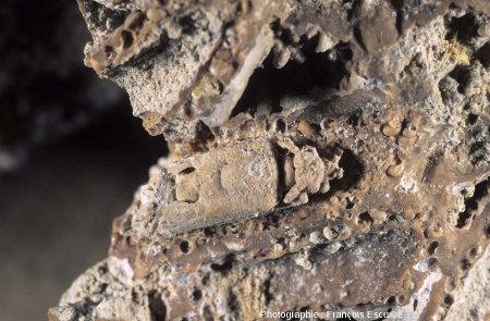 Nymphe de phrygane fossilisée, stromatolithisée dans son fourreau (Gannat, Allier)