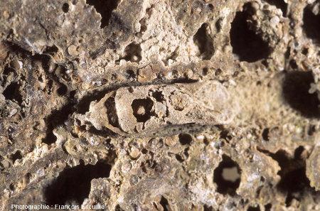 Autre nymphe de phrygane fossilisée, stromatolithisée dans son fourreau (Gannat, Allier)
