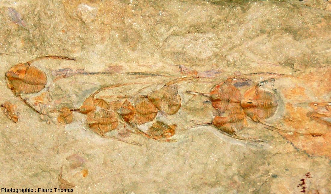 Alignement, voire procession, de trilobites tous orientés dans la même direction
