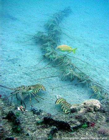 """Une""""procession"""" de langoustes actuelles (Palinurus sp.), possible analogie de la procession de trilobites fossiles"""