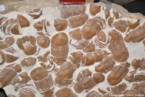 Vue rapprochée d'une plaque très riche en petits trilobites