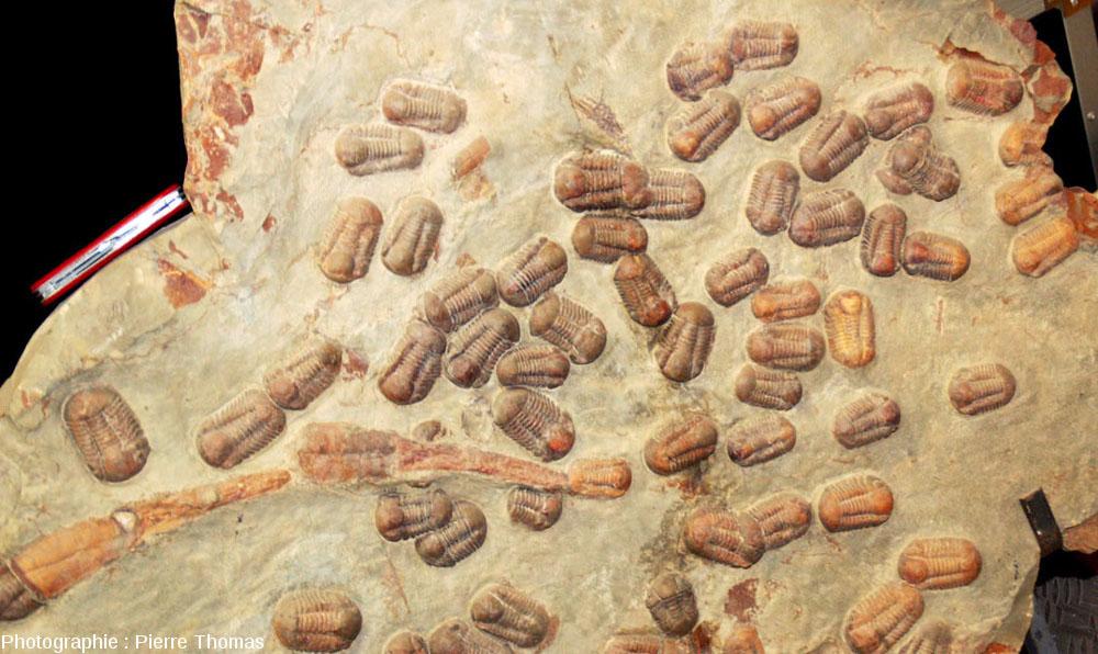 Autre plaque très riche en petits trilobites