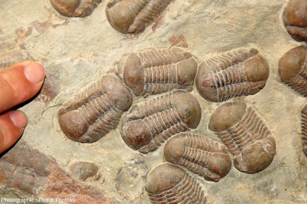 Zoom sur un groupe de trilobites