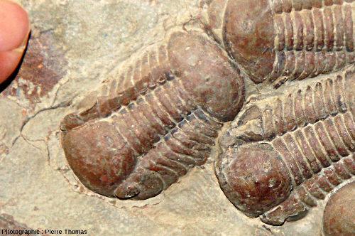 Zoom sur un petit trilobite