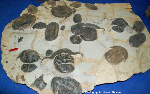 """Plaque riche en """"gros"""" trilobites"""