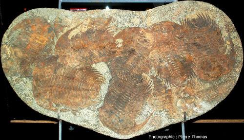 """Plaque très riche en """"très gros"""" trilobites de plus de 30cm de longueur"""