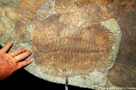 """Zoom sur un """"très gros"""" trilobite de plus de 30cm de longueur"""