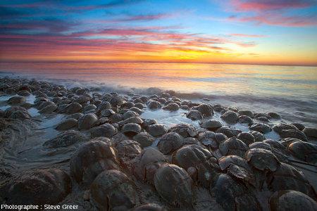 Rassemblement de limules (horseshoe crabs) sur une plage de la côte atlantique des États-Unis d'Amérique