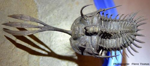 Fossile de Wallicerops trifurcatus (Dévonien moyen du Maroc)