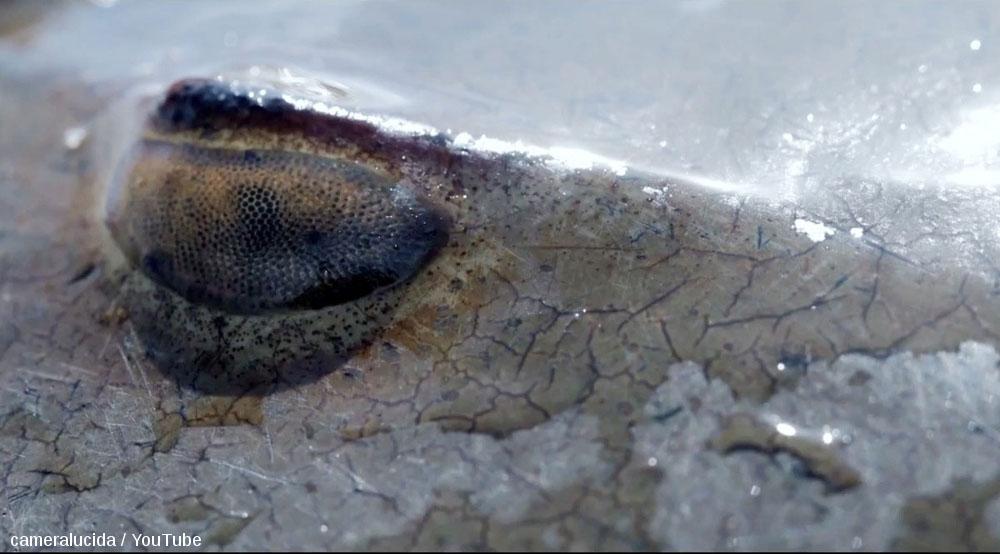 Gros plan sur un œil de limule, arthropode actuel appartenant au sous-embranchement des chélicérates, classe des mérostomes