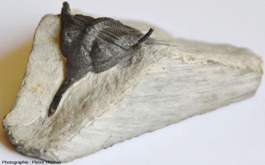 Fossile de Psychopyge elegans, trilobite du Dévonien supérieur marocain