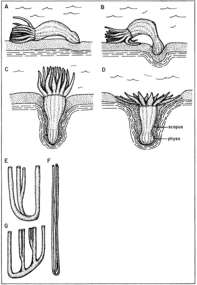 """Exemple d'ichnofossiles """"verticaux"""" répertoriés et parfois interprétés"""