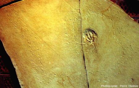Limule fossile au bout de sa piste sur une dalle de calcaire lithographique du Jurassique supérieur (~140Ma) de Solnhofen (Bavière)