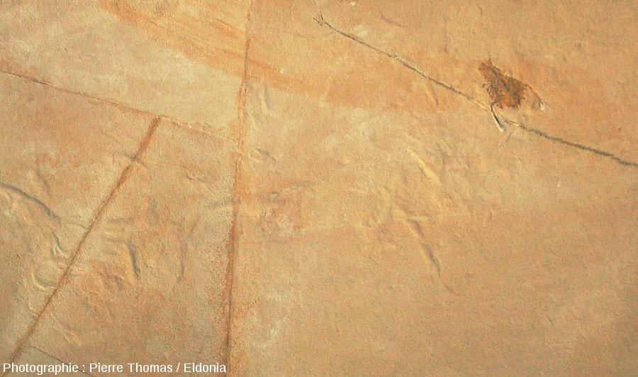 Zoom sur un crustacé fossile et ses probables traces de déplacement