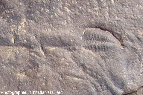 Zoom sur l'association fortuite d'un bilobite et d'un trilobite, Maroc