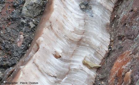 Zoom sur un filon de gypse fibreux recoupant des brèches argilo-gypseuses, Bidart, Pyrénées Atlantiques