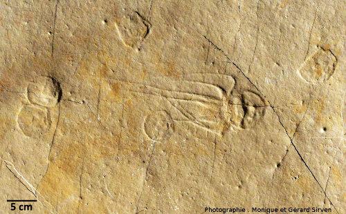 Fossile de Bipedalia cerinensis (ombrelle avec tentacules) et cinq fossiles de Paraurelia cerinensis (ombrelles sans tentacule visible), méduses du Kimméridgien (Jurassique supérieur, -151Ma) de Cerin (Ain)