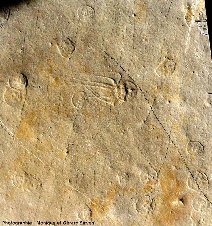 Vue partielle sur la dalle à méduses du gisement de Cerin, avec une méduse montrant ombrelle et tentacules, Bipedalia cerinensis, et de nombreuses méduses sans tentacule visible, Paraurelia cerinensis