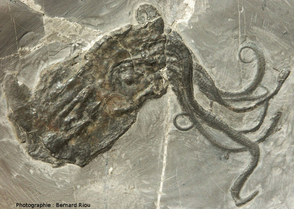 Fossile de Proteroctopus ribeti, poulpe (céphalopode octopode) du Callovien (Jurassique moyen, - 164Ma)