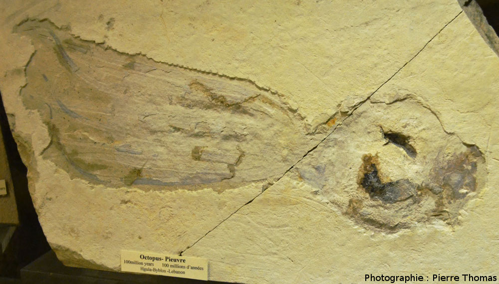 Poulpe fossile provenant des gisements cénomaniens (Crétacé supérieur, -100Ma) du Liban
