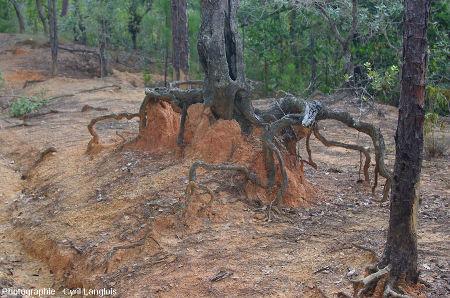 Effet limiteur d'érosion d'un arbre et de son système racinaire dans un secteur montrant une reprise d'érosion, Cuba