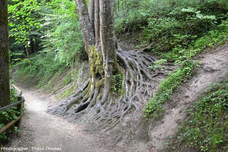 Action protectrice des racines des arbres face à l'érosion, Alpes