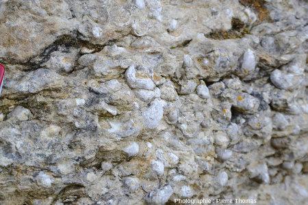 Affleurement semi-naturel (ancienne tranchée) de calcaire sinémurien et ses innombrables gryphées, Monts-d'Or lyonnais