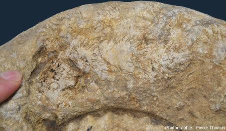 Zoom sur le moule interne d'ammonite du Sinémurien