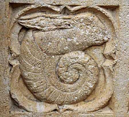 Ammonite à tête de lapin présente sur le porche Sud de la façade occidentale de la cathédrale Saint-Jean de Lyon (Rhône)