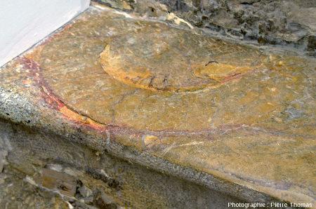Demi-ammonite contenue dans la marche d'un escalier intérieur d'une maison lyonnaise, escalier fait en dalle de Sinémurien des Mont-d'Or lyonnais