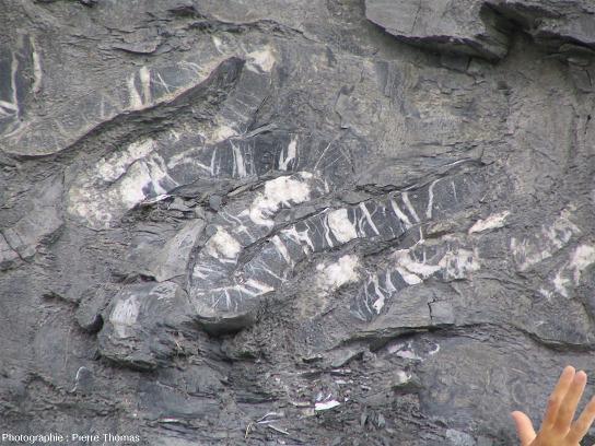 Couche de calcaire micro-plissée au sein de marnes noires du Bajocien, bord de la D340 sur la rive gauche de la Durance, 1km au Sud-Est d'Embrun (Hautes Alpes)