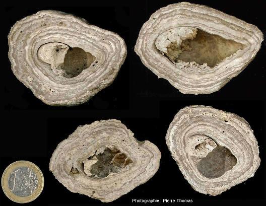 Sections de concrétions stromatolithiques ayant crû autour d'une coquille de gastéropode, coquille presque totalement dissoute, lieu-dit des Monts Martin, Montchenot, commune de Villers-Allerand, Marne