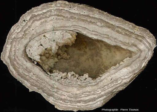 Concrétion stromatolithique ayant crû autour d'une coquille de gastéropode, les Monts Martin (Villers-Allerand, Marne)