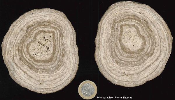 Exemple (avec les deux faces du trait de coupe) d'une concrétion stromatolithique dont la partie centrale ne semble pas correspondre à une coquille de gastéropode, les Monts Martin (Villers-Allerand, Marne)