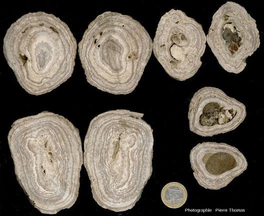 Aperçu de la (relativement faible) variété morphologique des concrétions stromatolithiques des Monts Martin, Montchenot, commune de Villers-Allerand, Marne
