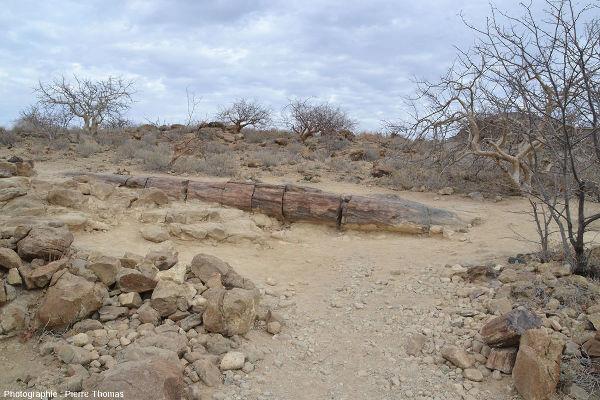 Un tronc silicifié dans le Petrified Forest National Monument, Damaraland (Namibie)